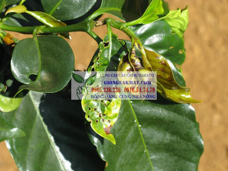 Bệnh bạc lá trên cây cà phê: nguyên nhân và cách khắc phục