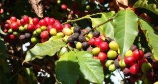 Cách phòng trừ bệnh khô cành, quả trên cây cà phê