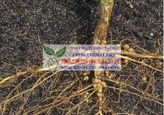 Bệnh lở cổ rễ trên cây cà phê: nguyên nhân và cách phòng trừ