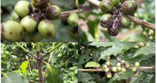 Triệu chứng và trị bệnh nấm hồng trên cây cà phê