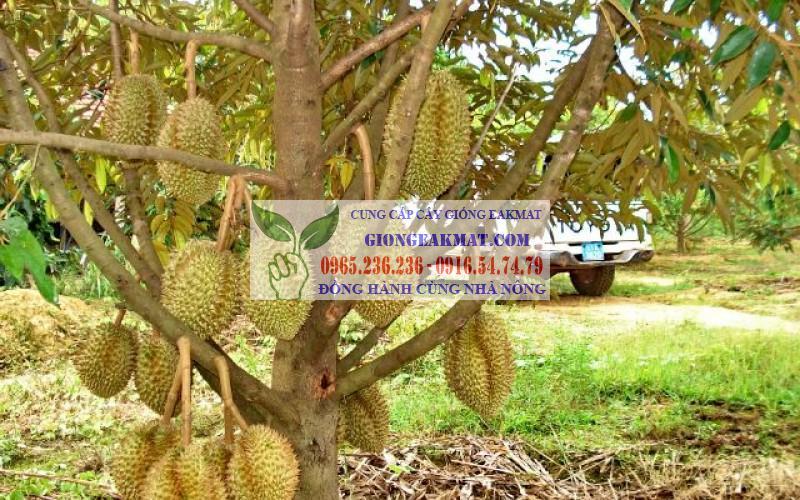 Điều kiện sinh thái để phát triển cây sầu riêng