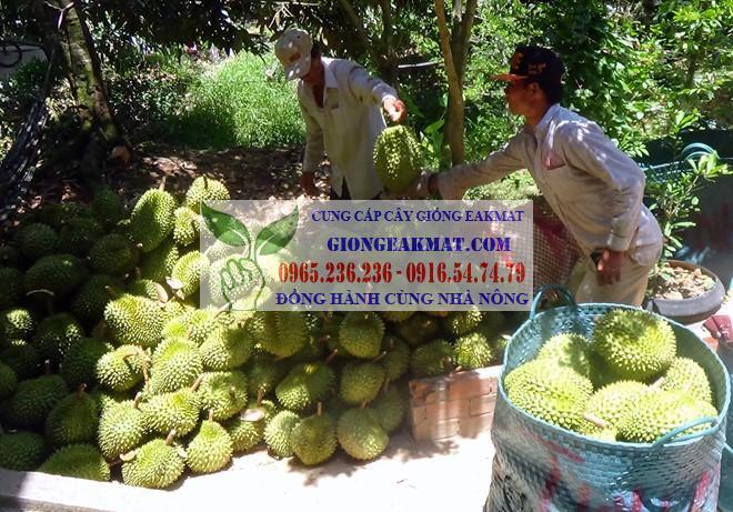 Giống sầu riêng Monthong Thái Lan