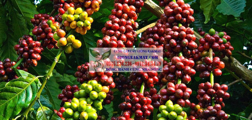 Hướng dẫn kỹ thuật tạo hình cho cây cà phê