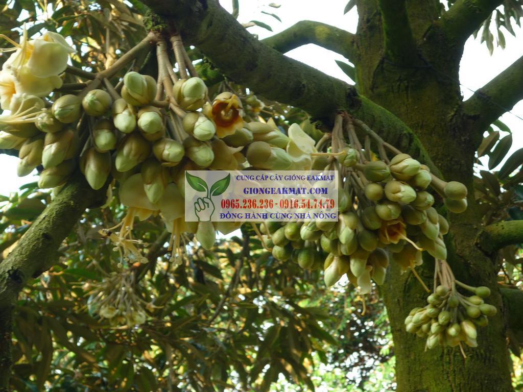 Kỹ thuật trồng cây sầu riêng cho năng suất hiệu quả