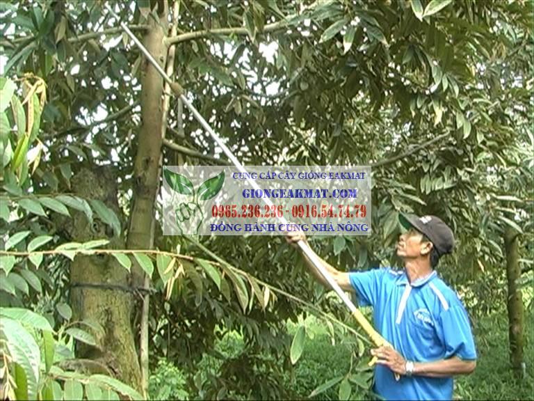 Kỹ thuật trồng sầu riêng tỉa cành, hoa, trái và tạo tán