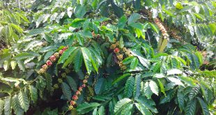Nguồn gốc và những giống cây cà phê phổ biến ở Việt Nam