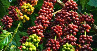 Giống cà phê vối TR9 - nguồn gốc, đặc điểm