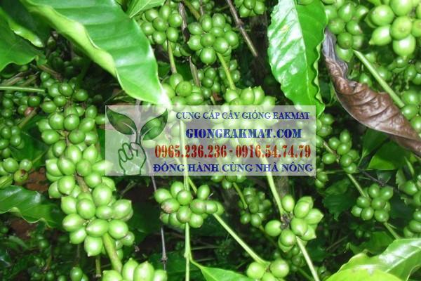 Giống cà phê vối TR4 nguồn gốc và đặc điểm