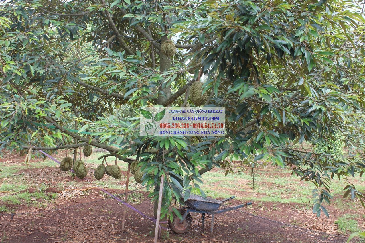 Những đặc tính thực vật học của cây sầu riêng