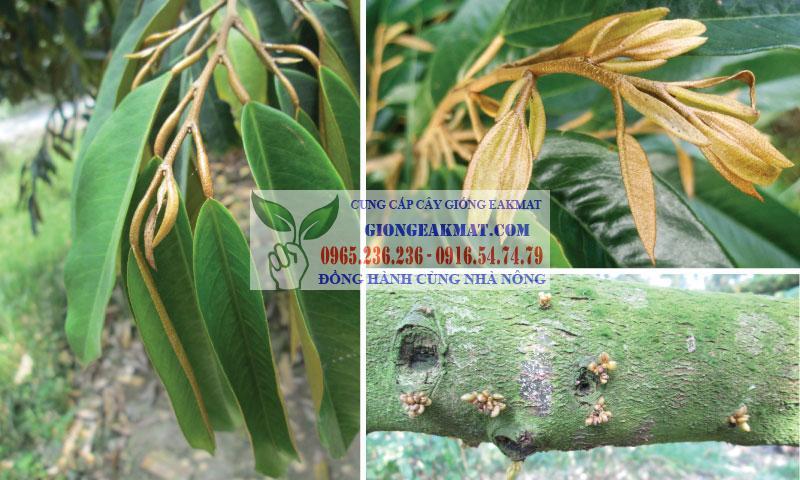 Những yếu tố ảnh hưởng đến chất lượng đậu quả trên cây sầu riêng