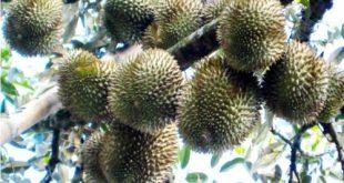 Phòng trừ bệnh thối trái trên cây sầu riêng