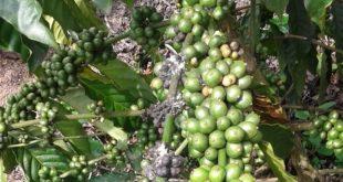 Phòng trừ rệp hại thân, lá, quả trên cây cà phê