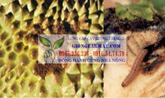 Phòng trừ sâu bệnh hại trên cây sầu riêng