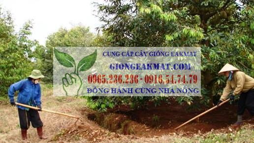 Quy trình bón phân đúng cách cho cây sầu riêng