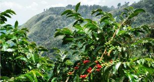 Thông tin tổng quan về cây cà phê giống