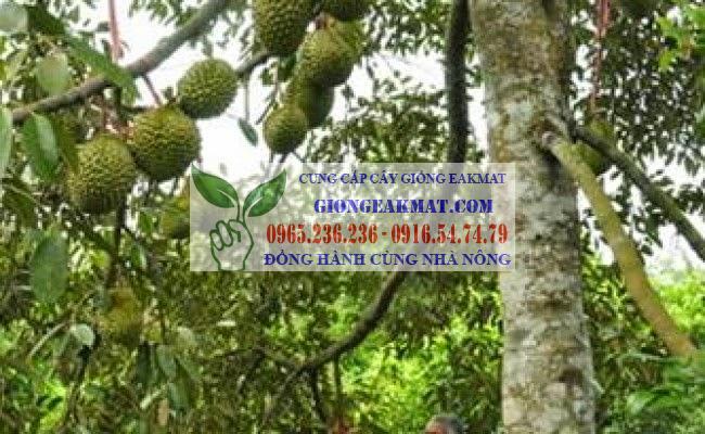 Thông tin tổng quan về cây sầu riêng