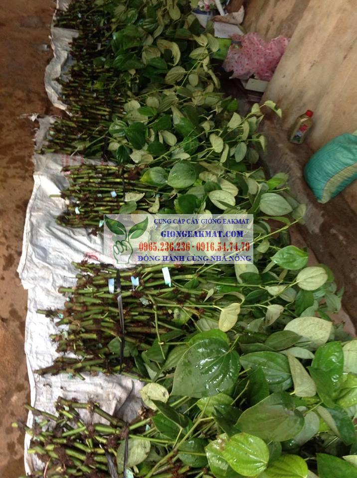 Giống tiêu Srilanka năng suất cao và kháng bệnh tốt