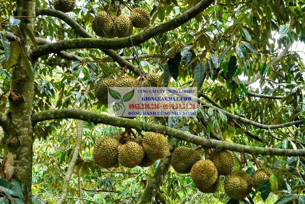 Tìm hiểu về giống sầu riêng cơm vàng hạt lép Ri6