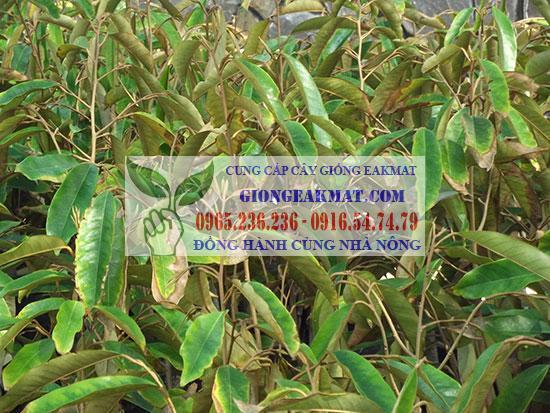 Triệu chứng và cách phòng trừ bệnh cháy lá, chết đọt trên cây sầu riêng