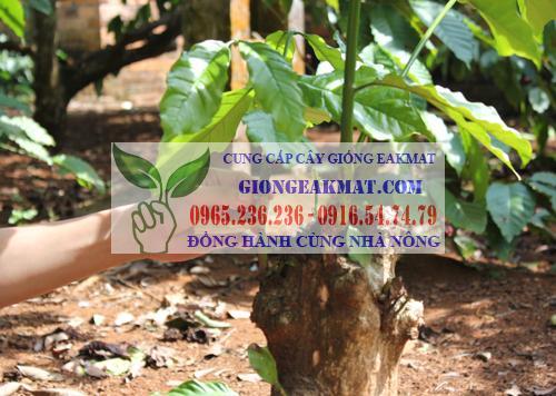 Hướng dẫn kỹ thuật ghép cải tạo cây cà phê vối