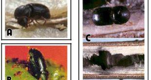 Mọt đục cành trên cây cà phê - tác hại và cách phòng trừ