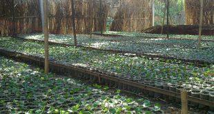 Cung cấp hạt giống cà phê vối TR4, TR9, TRS1