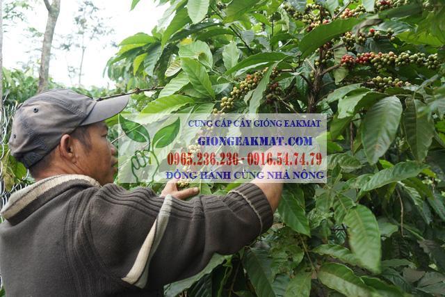 Phương pháp thu hoạch cà phê cho chất lượng cao