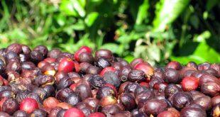 Ưu nhược điểm của phương pháp chế biến phơi khô cà phê