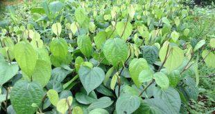 Những giống tiêu có triển vọng ở Việt Nam