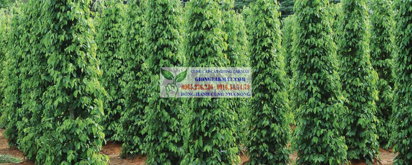 Giống tiêu trâu vĩnh linh có triển vọng ở Việt Nam