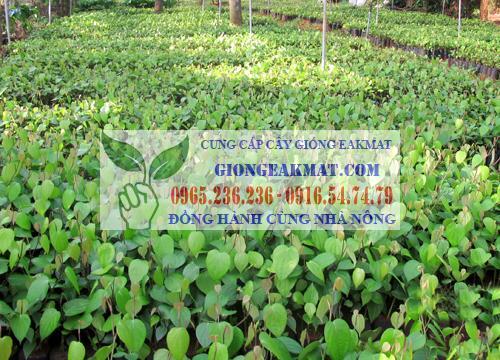 Giống tiêu sẻ có triển vọng ở Việt Nam