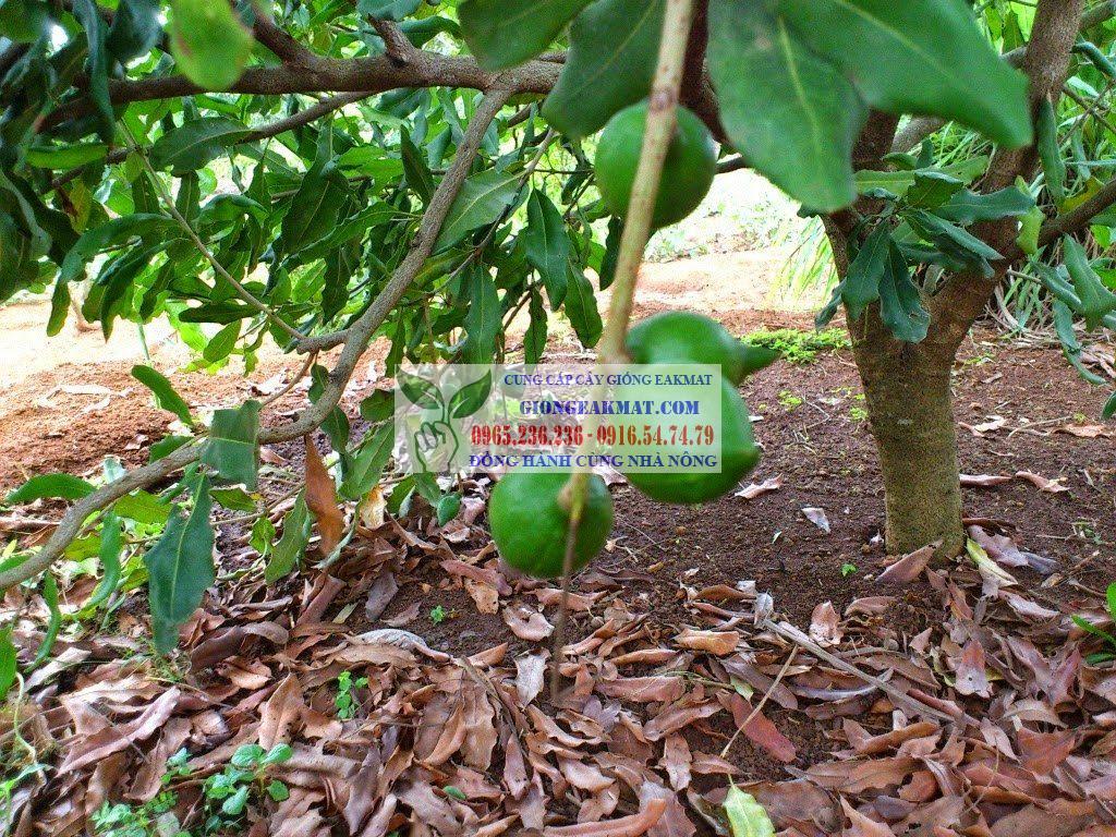 Cây giống Mắc ca nguồn gốc và đặc điểm thực vật học