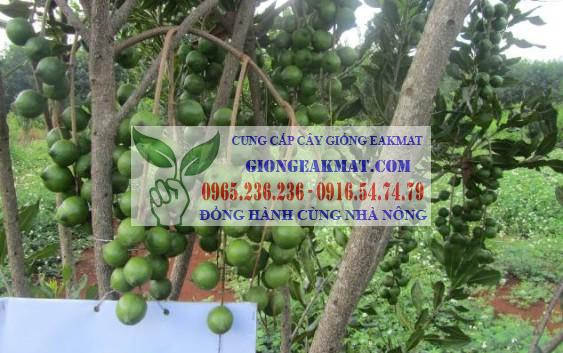 Phát triển cành cho cây maccadamia