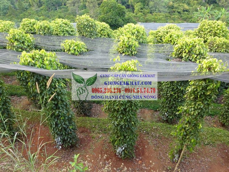 giống tiêu srilanka bán ở đâu