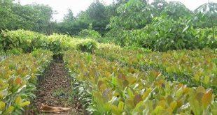 Tìm hiểu đặc điểm thực vật học của cây điều