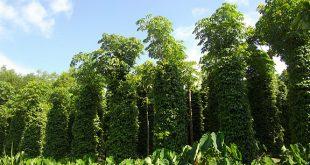 Phương pháp kỹ thuật trồng cây tiêu đạt năng suất cao