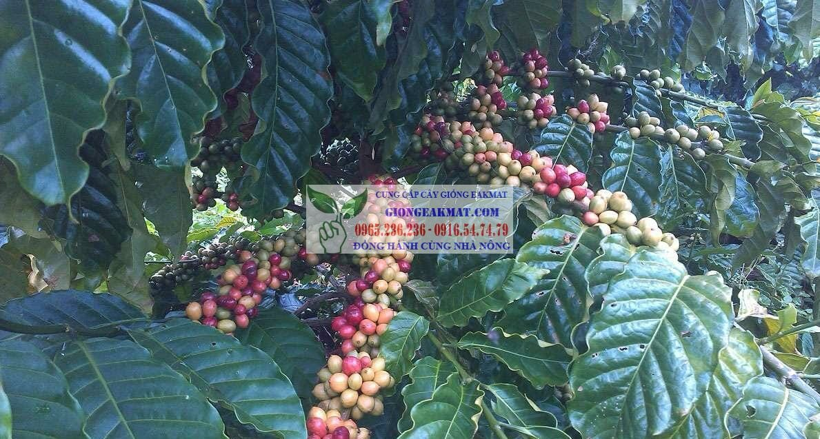 Giống cà phê cao sản xanh lùn TS5