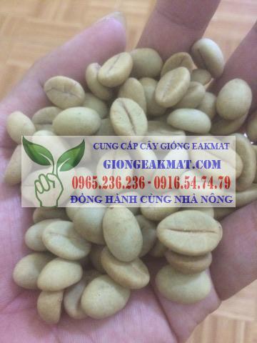 hạt giống cà phê cao sản xanh lùn TS5